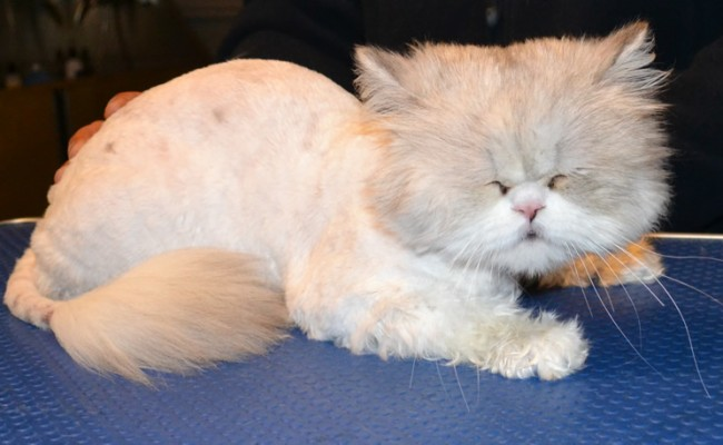Baby is a Chinchilla Persian. He had his matted fur shaved down, nails clipped, ears cleaned, wash n blow dry and a full set of Glitter Blue Softpaw nails caps.  Pampered by Kylies Cat Grooming Services Also All Size Dogs.