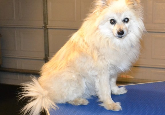 Nick is a 14 yr old Pomeranian. He had his thick fur shaved down, nails clipped, a wash n blow dry and his ears cleaned.  Pampered by Kylies cat Grooming services Also All Size Dogs.