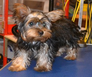 Monroe is a 17 week old Silky Terrier. He had a wash n blow dry, a comb clip, nails clipped and his ears cleaned. This was his very 1st groom. Pampered by Kylies cat Grooming services Also All Size Dogs.