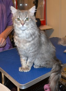 Shelby is a Medium hair Domestic. The client had just only adopted him less than 24 hours before his groom. He had a quick brush, nails clipped, ears cleaned and a wash n blow dry. Pampered by Kylies Cat Grooming Services Also All Size Dogs.