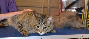 Dexter is a Bengal x Tabby. He had his fur raked, nails clipped, ears cleaned and a wash n blow dry. Pampered by Kylies cat Grooming services Also All Size Dogs.