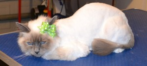 Boo is a Birman. She had her fur shaved, nails clipped and ears cleaned. Pampered by Kylies Cat Grooming Services Also All Size Dogs.