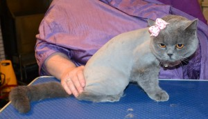 Mystique is a British Short Hair. She has her fur shaved down, nails clipped and ears cleaned. Pampered by Kylies Cat Grooming services Also All Size Dogs.