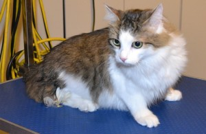 Clove is a Short hair Domestic. She had her nails clipped, fur shaved and ears cleaned. Pampered by Kylies cat Grooming services Also All Size Dogs.