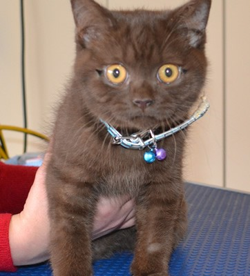 Bernardo is a 3 month old Chocolate British Short hair. He is wearing a Full set of Black Softpaw nail caps.   Pampered by Kylies Cat Grooming services Also All Size Dogs.