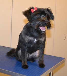 Clare is a Maltese x Schnauzer x Staffy x Australian Terrier. She had her fur clipped, nails clipped, ears and eyes cleaned and a wash n blow dry. Pampered by Kylies Cat Grooming services Also All Size Dogs.