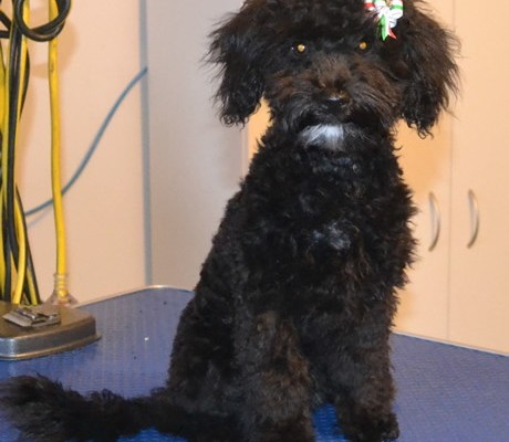 Billie is a 13 week old Toy Poodle. He had a wash n blow dry, a comb clip, nails clipped and his ears cleaned. This was also Billie's 1st groom.  Pampered by Kylies cat Grooming services Also All Size Dogs.