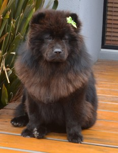 Chico is a 9 month old Chow Chow. She had her fur raked, nails clipped , ears cleaned and a wash n blow dry. Pampered by Kylies Cat Grooming Services Also All Size Dogs.