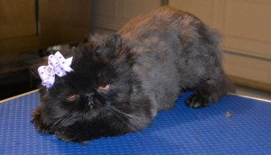 Coco is a Persian. She had her mattes fur clipped off and the rest of her fur clipped down, nails clipped, ears and eyes cleaned and a wash n blow dry. Pampered by Kylies Cat Grooming Services Also All Size Dogs.