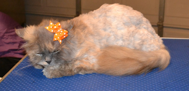 Pazuzu is a Persian. She had a medium comb clip, nails clipped and her ears cleaned.  Pampered by Kylies Cat Grooming Services Also All Size Dogs.