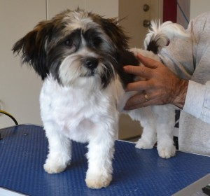Rocky is a Shih Tzu. he had a wash n blow dry, nails clipped, eyes and ears cleaned and a comb clip all over his fur. Pampered by Kylies cat Grooming services Also All Size Dogs