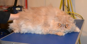 Ralph is a Persian. He had his matted fur shaved down, nails clipped, ears and eyes cleaned and a wash n blow dry. Pampered by Kylies Cat Grooming services Also All Size Dogs.
