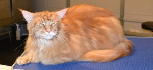 After - Harrison is a 13kg Mainecoon. He had all his underneath shaved down, nails clipped, ears cleaned, his fur raked and a wash n blow dry. Pampered by Kylies Cat Grooming Services Also All Size Dogs