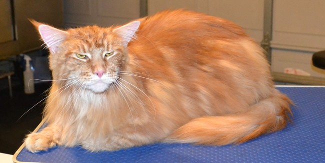 After – Harrison is a 13kg Mainecoon.  He had all his underneath shaved down, nails clipped, ears cleaned, his fur raked and a wash n blow dry.  Pampered by Kylies Cat Grooming Services Also All Size Dogs
