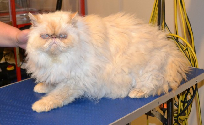 Sketch is a Persian. He had his very thick matted fur shaved off, nails clipped and ears and eyes cleaned.  Pampered by Kylies Cat Grooming Services Also All Size Dogs.