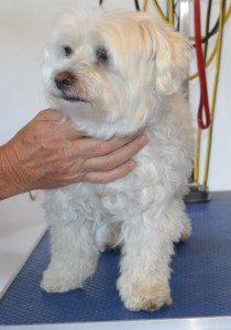 Jessy is a Maltese. She had her fur clipped, nails clipped, ears and eyes cleaned and a wash n blow dry. Pampered by Kylies Cat Grooming Services Also All Size Dogs.