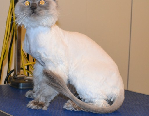 Yoshi is a Ragdoll. He had his fur shaved down, ears cleaned, nails clipped and a wash n blow dry. Pampered by Kylies cat Grooming services Also All Size Dogs.