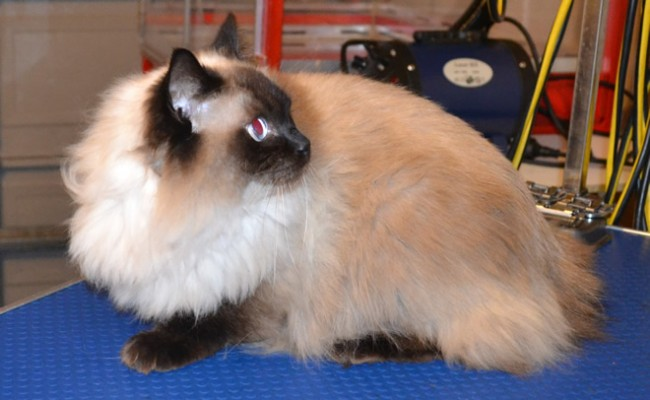 Baby is a Ragdoll.  She  had her  fur shaved down, nails clipped and ears cleaned   Pampered by Kylies Cat Grooming services Also All Size Dogs.