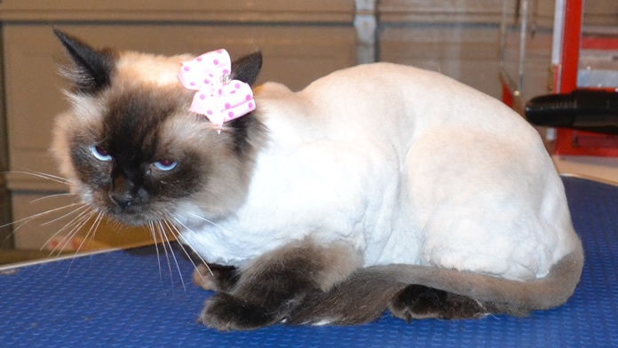 Shaved ragdoll cat pictures