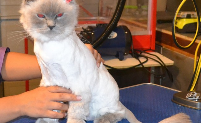 Midgy is a Ragdoll. She had her fur shaved down, nails clipped, ears cleaned and a full set of Red SoftPaw nail caps. Pampered by Kylies cat Grooming services Also All Size Dogs.