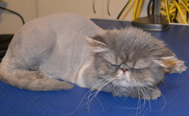 Oscar is a Persian. He had his very thick matted fur shaved off, nails clipped and ears and eyes cleaned. Pampered by Kylies Cat Grooming Services Also All Size Dogs.