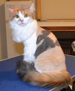 Saffron is a Medium hair Domestic. She had her nails clipped, fur shaved and ears cleaned. Pampered by Kylies cat Grooming services Also All Size Dogs.
