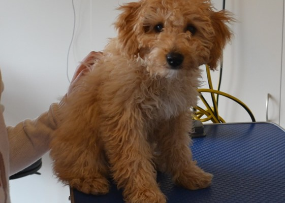 Louie is a 14 week old Toy Poodle.  He had a wash n blow dry, a comb clip all over his body, nails clipped and ears and eyes cleaned.   Pampered by Kylies cat Grooming services Also All Size Dogs