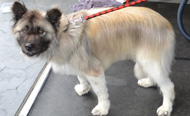 Jayde is a 9 year old Long hair Japanese Akita. She had her matted fur raked,nails clipped, ears cleaned, a wash n blow dry and her long fur and legs trimmed all around.  I forgot to take a before pic.   Pampered by Kylies cat Grooming services Also All Size Dogs.