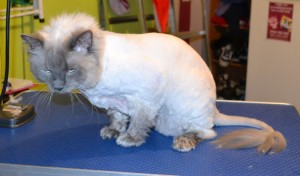 Diesel is a Ragdoll. He had his matted fur shaved off, nails clipped, ears cleaned and a wash n blow dry. Pampered by Kylies cat Grooming services Also All Size Dogs.