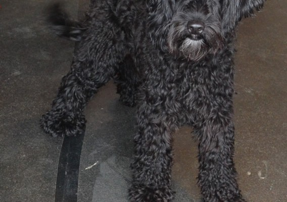 Gerry is a Spoodle. He had his fur clipped down short, nails clipped, ears cleaned and a wash n blow dry. Pampered by Kylies Cat Grooming Services Also All Size Dogs.