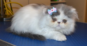 Splat is a 9 week old Kitten Persian. She had her nails clipped, ears cleaned and a wash n blow dry. Pampered by Kylies Cat Grooming Services Also All Size Dogs.