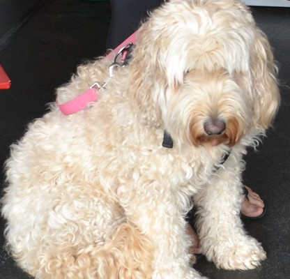 Narnie is a Labradoodle.  She had a wash n blow dry, nails clipped, eyes and ears cleaned and her matted fur shaved down..   Pampered by Kylies cat Grooming services Also All Size Dogs