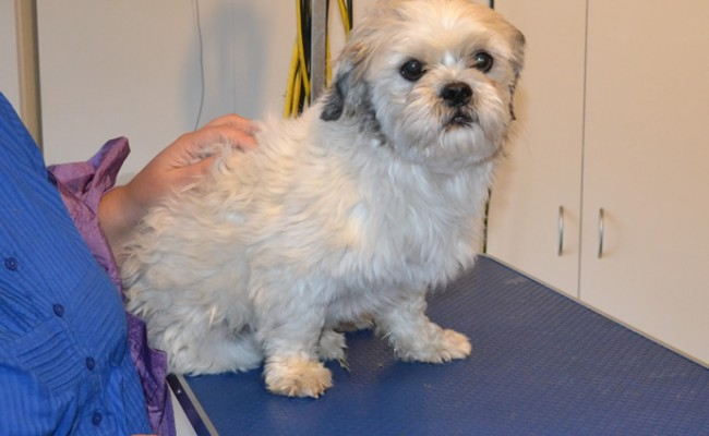 Max is a Maltese x Shih Tzu.  He had his fur clipped, nails clipped, ears and eyes cleaned and a wash n blow dry.  Pampered by Kylies cat Grooming services Also All Size Dogs.