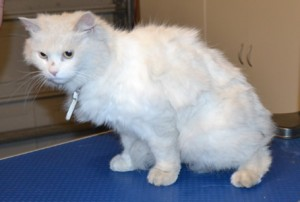Marshmallow is a Medium hair Domestic. She had her fur shaved, nails clipped, ears and eyes cleaned and a wash. Pampered by Kylies Cat Grooming Services also all size dogs.