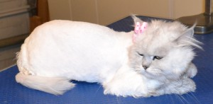 Fayfay is a Chinchilla X. She had her matted fur shaved down, nails clipped, ears cleaned, a wash n blow dry and a full set of Baby Pink Softpaw nail caps. Pampered by Kylies Cat Grooming services Also All Size Dogs.