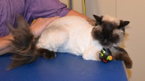 Frankie is a Ragdoll. He had his fur shaved down, nails clipped and ears cleaned. Pampered by Kylies Cat Grooming Services also all size dogs.