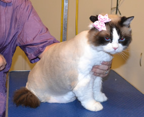 Cassie is a Ragdoll. She had her fur shaved down, nails clipped and ears cleaned. Pampered by Kylies Cat Grooming Services also all size dogs.