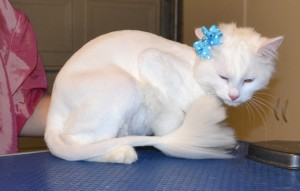 Freddie is a Medium Hair Domestic. She had her fur shaved down, nails clipped and ears cleaned. Pampered by Kylies Cat Grooming Services also all size dogs.