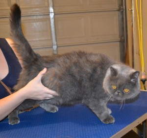Merlin is a Exotic Short hair Persian. He had his fur shaved down, nails clipped and ears and eyes cleaned.Pampered by Kylies Cat Grooming Services also all size dogs.