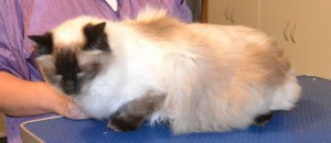 Phoenix is a Ragdoll. He had his fur shaved, nails clipped, ears cleaned and some Glitter Blue Softpaw nail caps. Pampered by Kylies Cat Grooming Services also all size dogs.