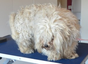 Coco is a poodle x Bichon. She is a rescue dog. She had her matted fur shaved off, nails clipped, ears and eyes cleaned and a wash n blow dry. Pampered by Kylies Cat Grooming Services also all size dogs.