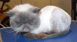 Mau is a Himalayan. He had his matted fur shaved off, nails clipped,ears and eyes cleaned and a wash n blow dry. Pampered by Kylies Cat Grooming Services also all size dogs