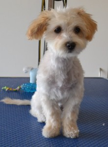 Biscuit is a 4 month old Moodle. He had a comb clip, ears and eyes cleaned, nails clipped and a wash n blow dry. He is wearing one of our cute tops purchased from Kylies cat Grooming services Also All Size Dogs. Pampered by Kylies Cat Grooming services Also All Size Dogs.
