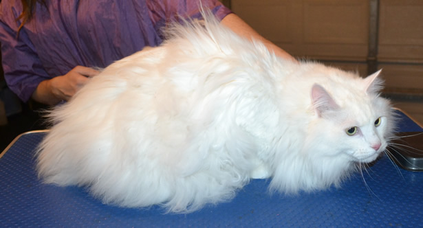 Captain is a Medium Hair Domestic. He had his matted fur shaved down, nails clipped, ears cleaned and Blue Softpaw nail caps.  Pampered by Kylies Cat Grooming Services also all size dogs.