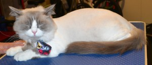 Whistler is a Ragdoll. He had his fur shaved down, nails clipped, and ears cleaned. Pampered by at Kylies Cat Grooming Services also all size dogs.