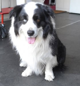 Blue is a Border Collie. He is a nervous Doggy. He had his fur clipped for the summer. Pampered by Kylies cat Grooming services Also All Size Dogs.