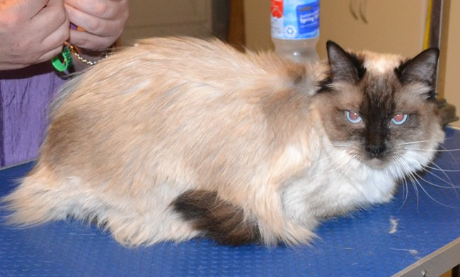 Naya is a Ragdoll. She had her fur shaved, nails clipped, ears cleaned and some Hot Pink Softpaw nail caps. Pampered by  Kylies Cat Grooming Services also all size dogs.