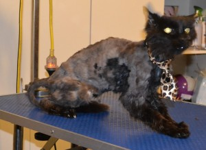 Zuies is a 17 yr old Long Hair Domestic. He had his matted fur shaved off, nails clipped, ears cleaned and a wash n blow dry. Pampered by Kylies Cat Grooming Services also all size dogs.