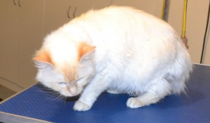 Nova is a Flame Point Ragdoll. He has his matted fur shaved down, nails clipped and ears cleaned. Pampered by Kylies Cat Grooming Services also all size dogs.