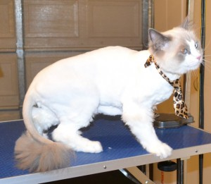 Mookie is a Ragdoll. He had his Fur shaved down, nails clipped and ears cleaned. Pampered by Kylies Cat Grooming Services also all size dogs.